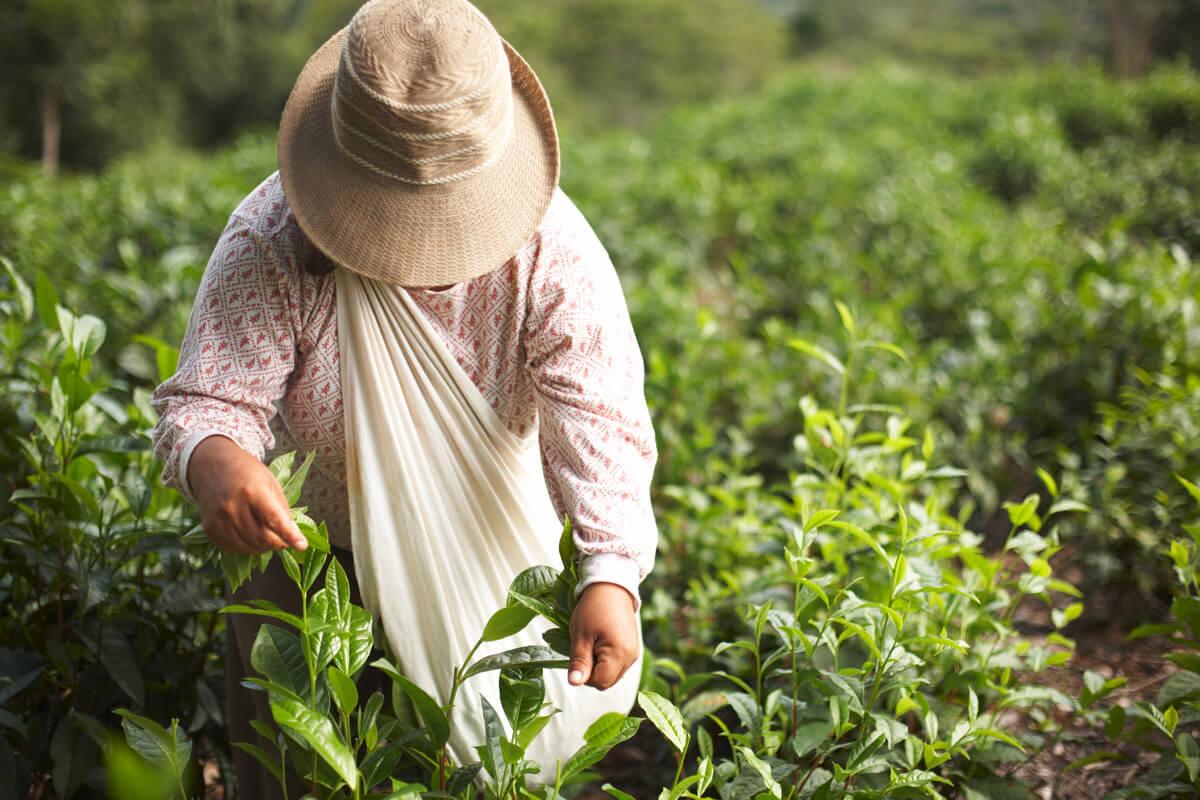 Eine Frau erntet die jüngsten Blattspitzen der Teepflanze