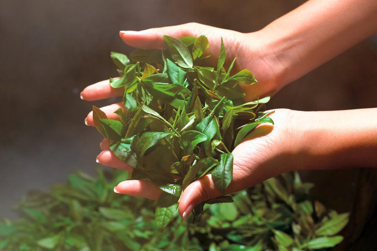 Eine Frau schöpft frisch geerntete Teeblätter aus einer Schale